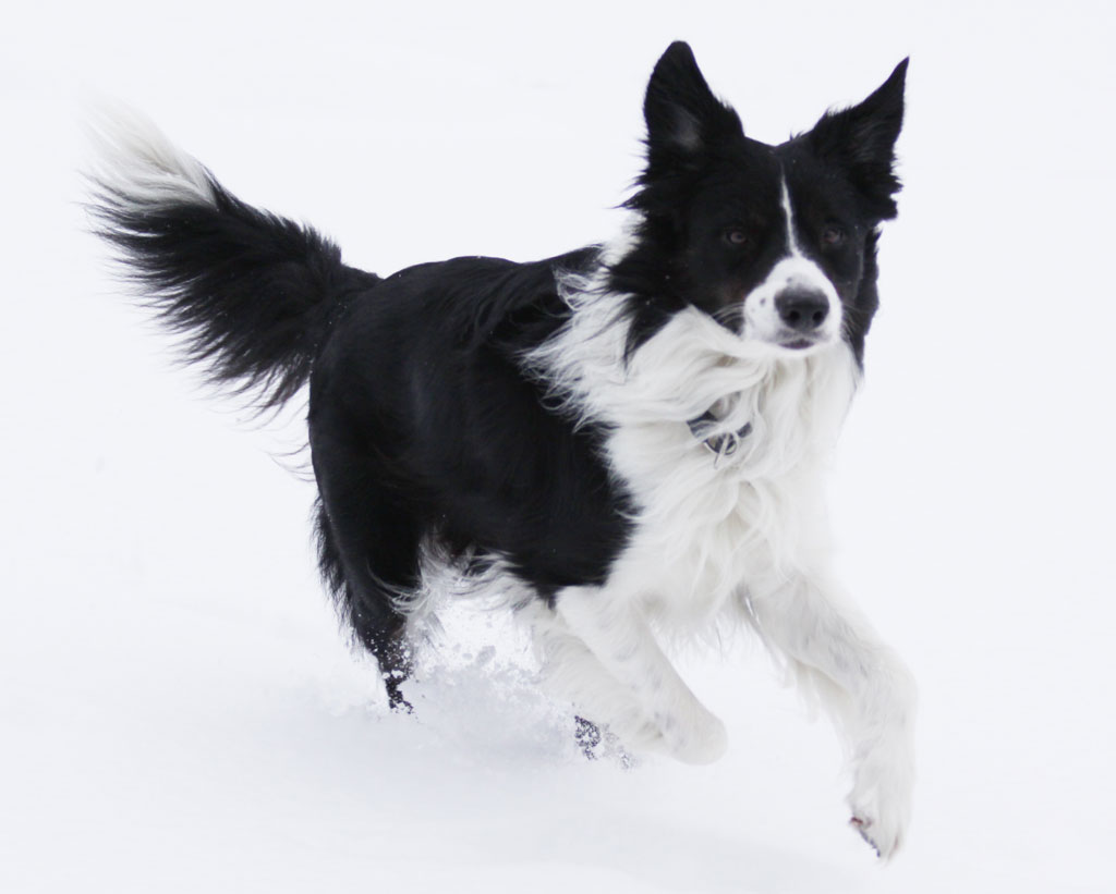 G And H Border Collies Border Collie - Geschi...