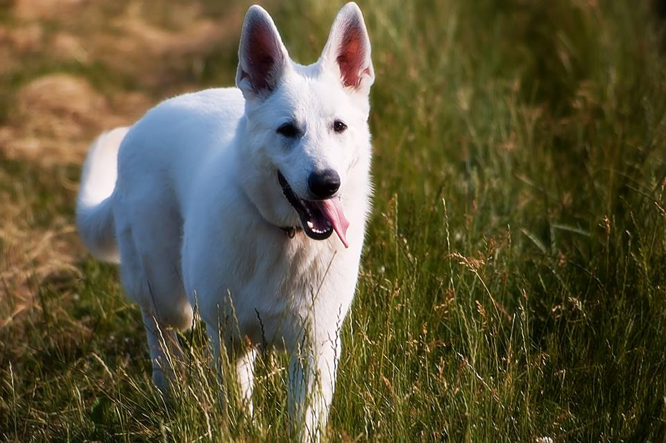 husky schäferhund mischling