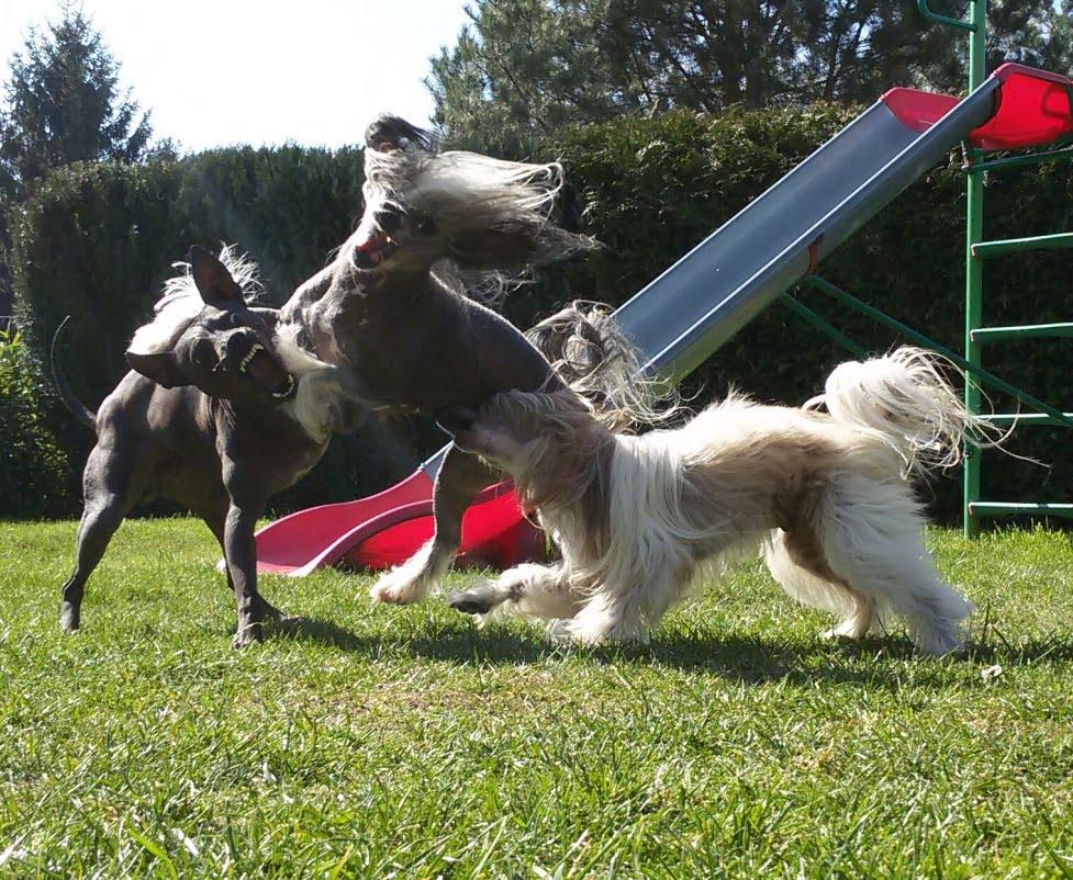 AHT im Spiel mit Crested Dogs