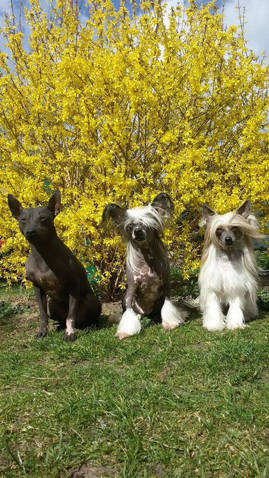 AHT mit 2 Chinese Crested Dogs
